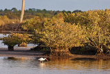 White Ibis in the late afternoon light