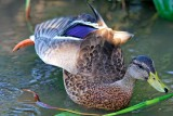 Mallard - awkward stance, lovely colour