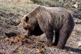 Grizzly Bear, on the Icefields Parkway