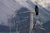 Raven, at the Bridal Veil Falls overlook