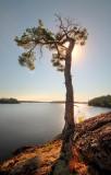 Gnarled Pine 1.jpg