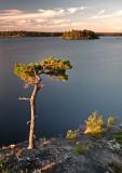 Gnarled Pine 2.jpg