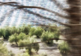 Olive Grove Abstract.jpg