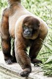 Wooly Monkey 1.jpg