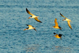 Black Skimmers and Marbled Godwits
