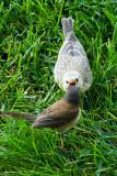 Dark-eyed Junco feeding Brown-headed Cowbird