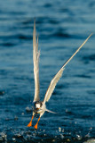 Forster's Tern with fish
