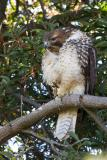 Juvenile Red-tailed Hawk preening