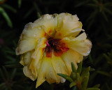 Yellow Portulaca.jpg