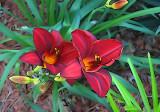 Posterized Daylilies.jpg