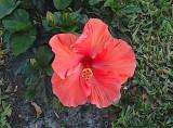 Posterized Hibiscus.jpg