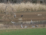 Hooded Crane next to Great Blue Heron and Sandhill's