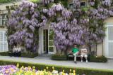 Wisteria in Mirabell Gardens-Salzburg