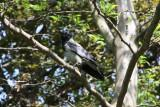 Hooded Crow in city park
