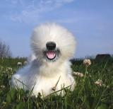 Sheep-Dog.jpg