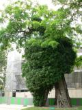 One of the oldest trees in Paris