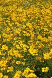 2.  Great swaths of coreopsis.