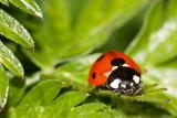 The Humble Ladybird