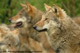 Grey Wolf  (Wolf)