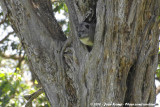 Eastern Tree HyraxDendrohyrax validus
