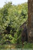 BushbuckTragelaphus scriptus massaicus