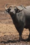 Cape BuffaloSyncerus caffer mathewsi