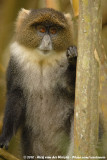 Sykes' MonkeyCercopithecus albogularis kolbi