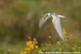 Whiskered Tern  (Witwangstern)