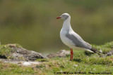 Grey-Headed Gull  (Grijskopmeeuw)