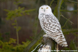 Snowy Owl  (Sneeuwuil)