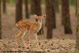 Sika Deer  (Sikahert)