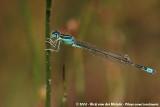 Scarce Blue-Tailed DamselflyIschnura pumilio