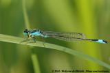 Blue-Tailed DamselflyIschnura elegans elegans
