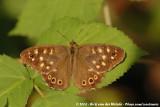 Speckled WoodPararge aegeria tircis