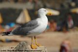 Yellow-Legged GullLarus michahellis atlantis