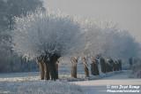 Winterwilgen / Winter Pollard Willow
