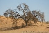 DDT: Dramatic Desert Tree