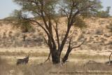 Zuid-Afrikaanse Spiesbok / South African Gemsbok