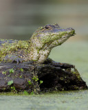 Young Swamp Gator