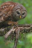 Barred Owl with Snake II