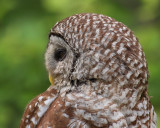 Barred Owl(Side profile)