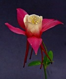 June 2011 - Flowers - Columbine - Fred Ceule