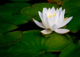 June 2011 - Flowers - White Beauty Of The Water - Tommy Brison
