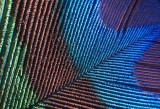 February 2012 - Closeup/Macro - Feather - Linda Hanley