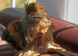 Chloe sunning on the couch