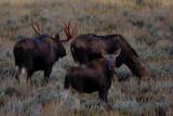 moose family...