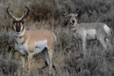 attentive pronghorn...