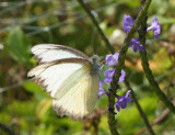 Butterfly Near Keating National Park
