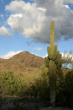 Saguaro Near Sunset