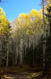 Aspen along the road to Hart Prairie #2